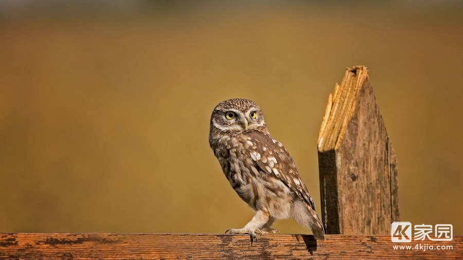 little-owl-4k-of-3840x2160.jpg