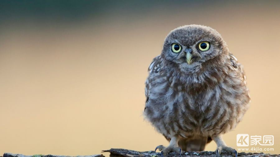 little-cute-owl-4k-6y-3840x2160.jpg