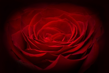娇艳欲滴的玫瑰花瓣图片