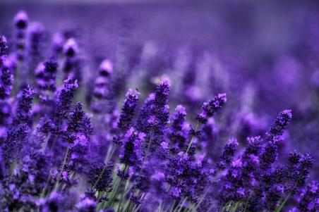 紫色薰衣草4k图片